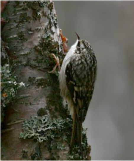 Brown Creeper photos by Doug Lloyd