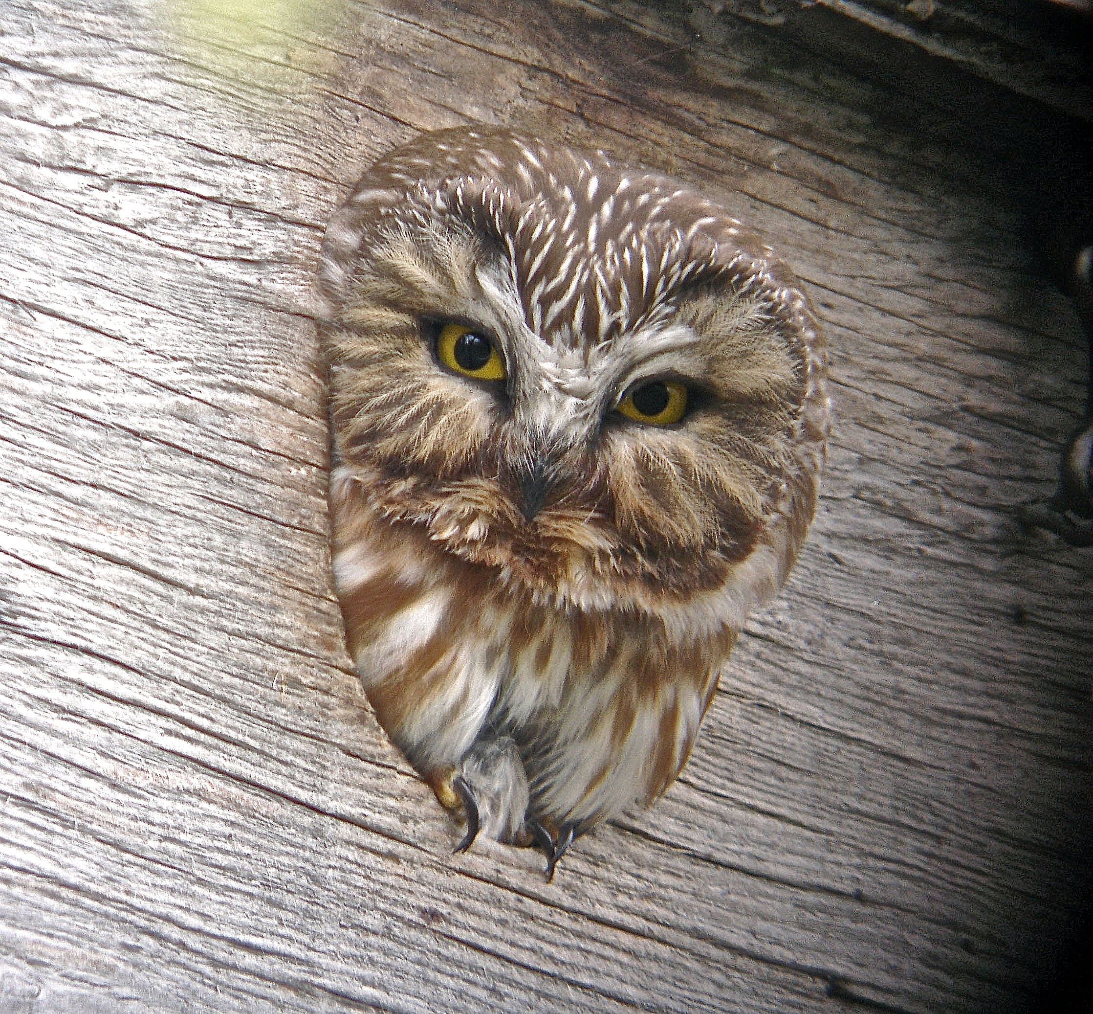 Northern Saw-whet Owl by B. Winckler
