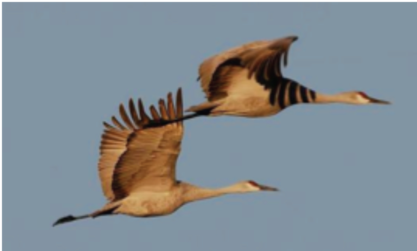 Sandhill Cranes by Kris Abshire