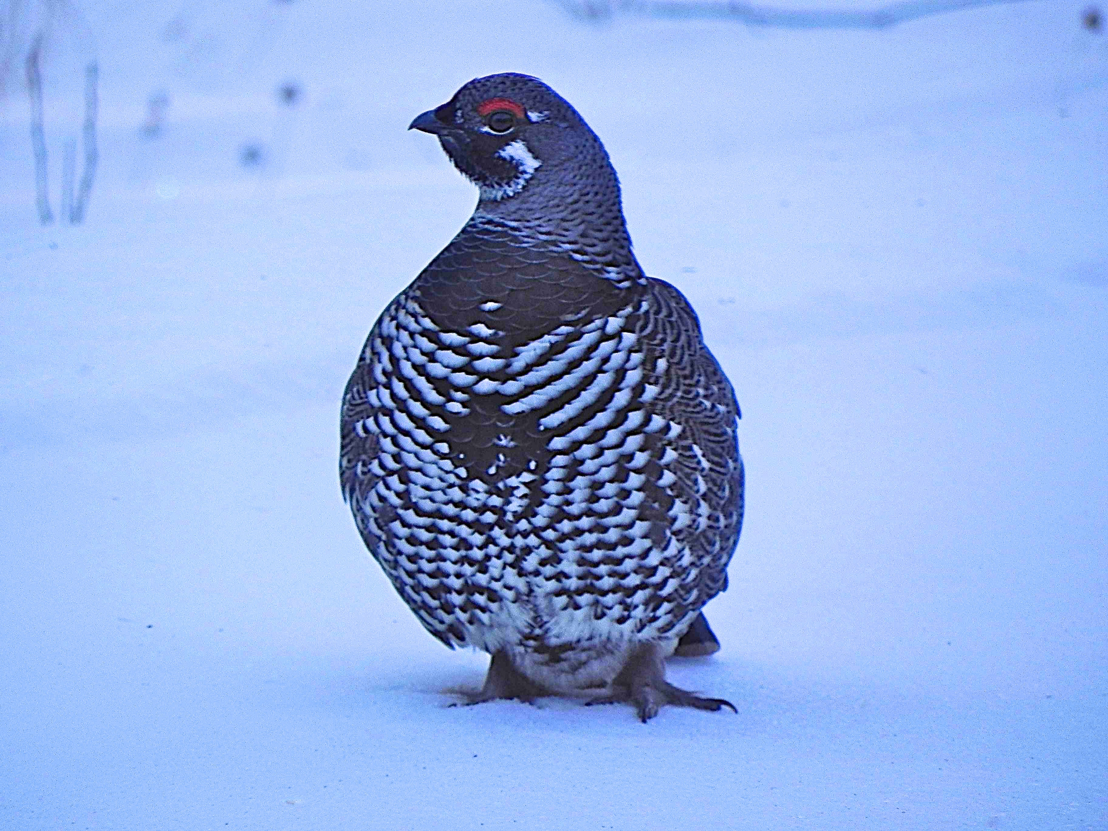Spruce Grouse by B. Winckler