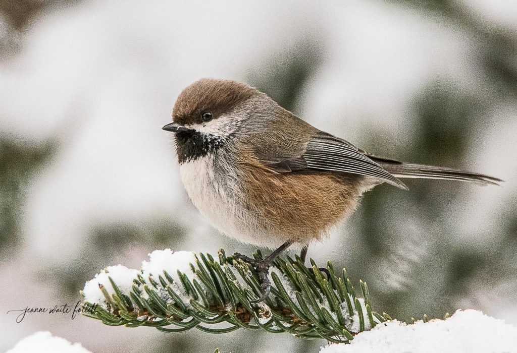 Boreal Chickadee - Jeanne Waite Follett