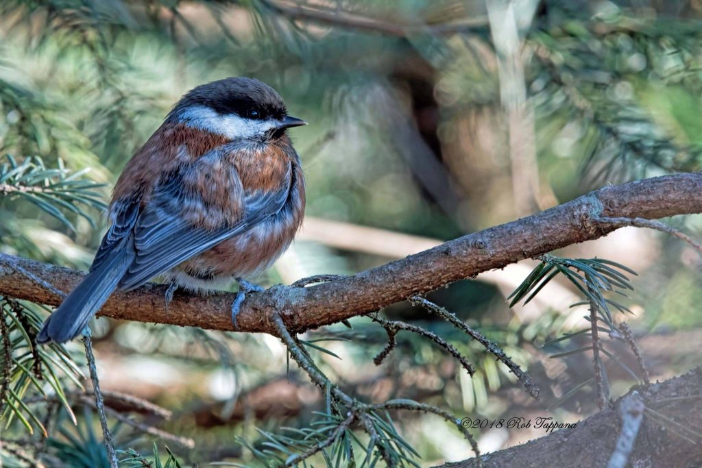 Chestnut-backed Chickadee - Rob Tappana